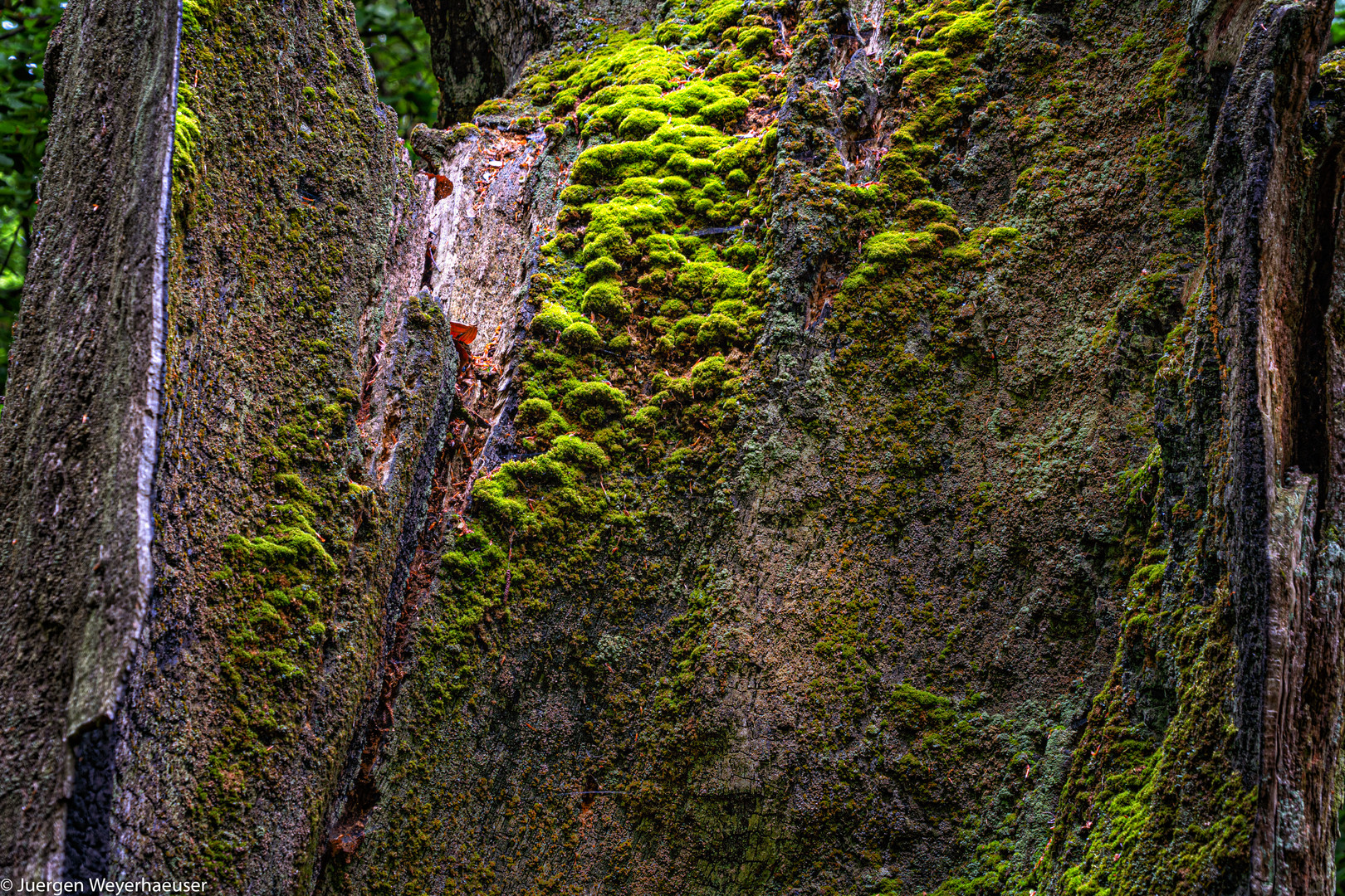 urwald sababurg  stamm in auflösung foto  bild