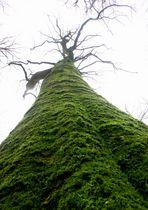 Urwaldbaum