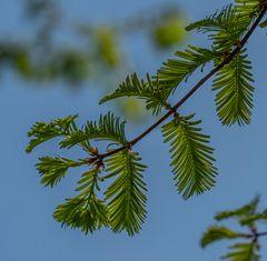 Urweltmammutbaum - Berggarten Hannover