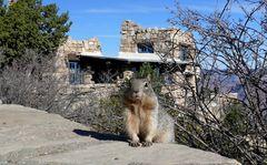 USA 2018 - Squirrel am Grand Canyon