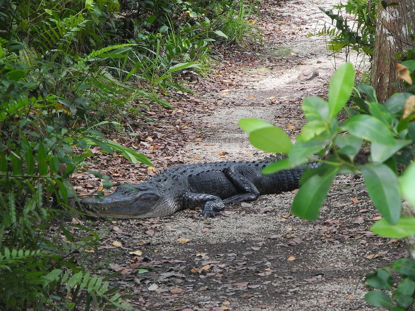 USA-Florida. Everglades: Ende einer Wanderung- der Alligator hatte die besseren Argumente.