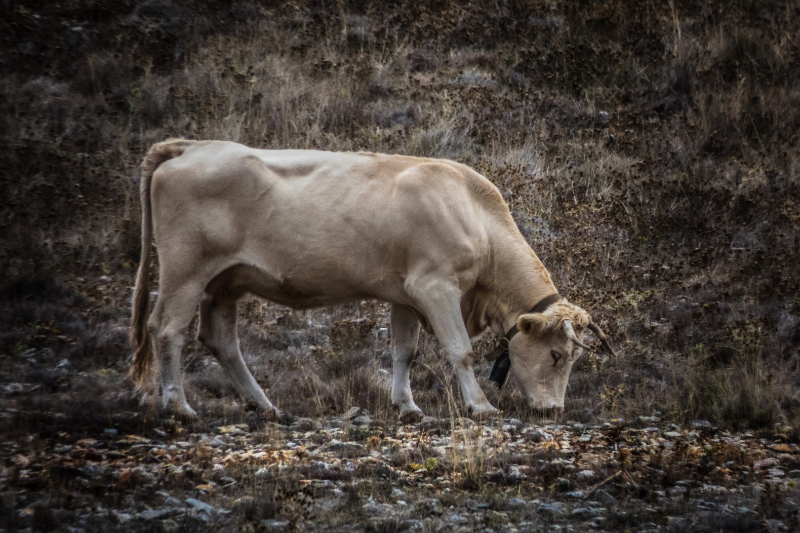 Vaca feliz - Happy cow (Animal feelings)