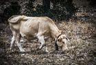 Vaca llorando - A cow crying (Animal feelings)