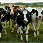 Vacas en el pasto (Auf der Weide)
