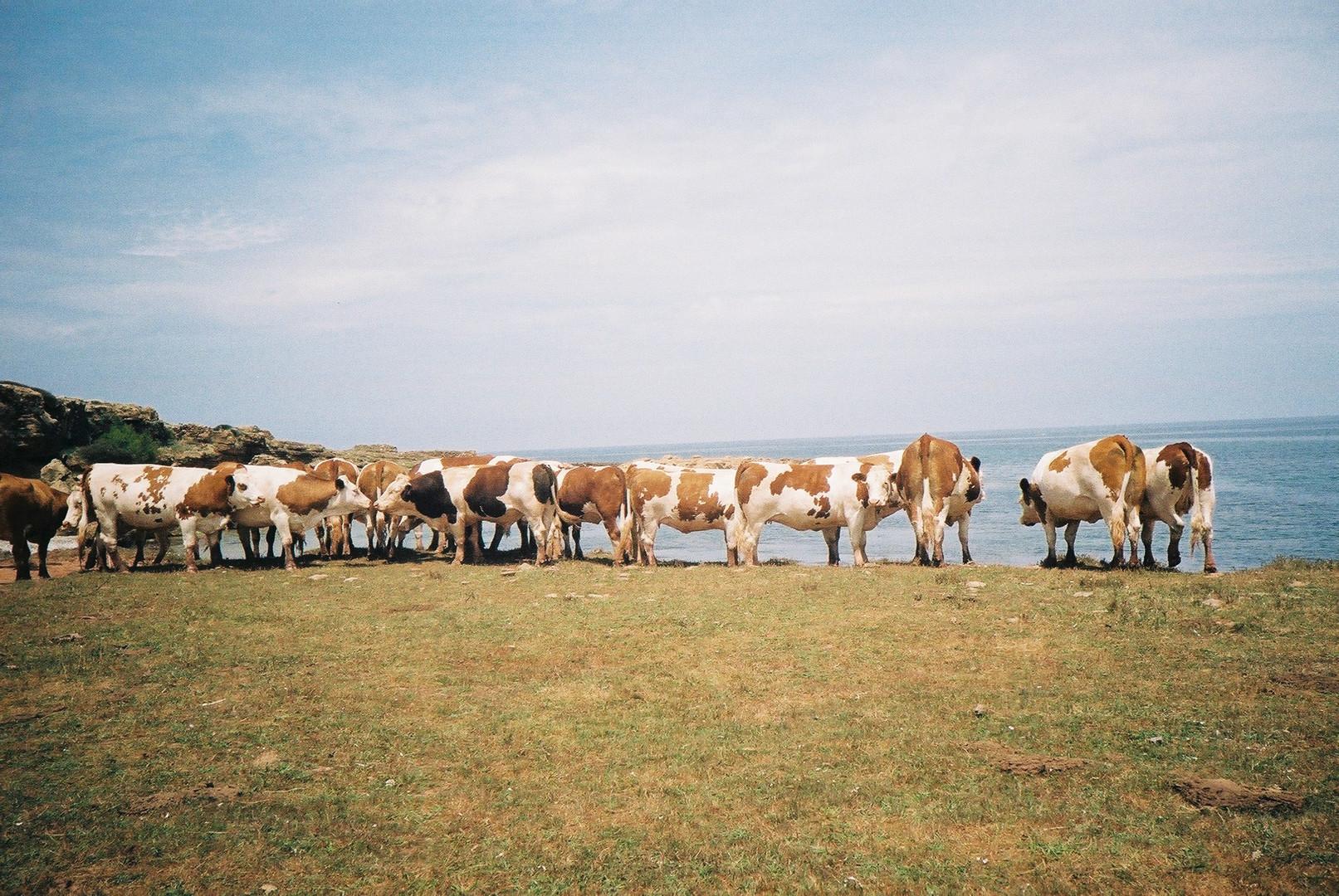 Vacas menorquinas al lado del mar