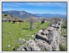 Vacas pastando en la sierra de Madrid