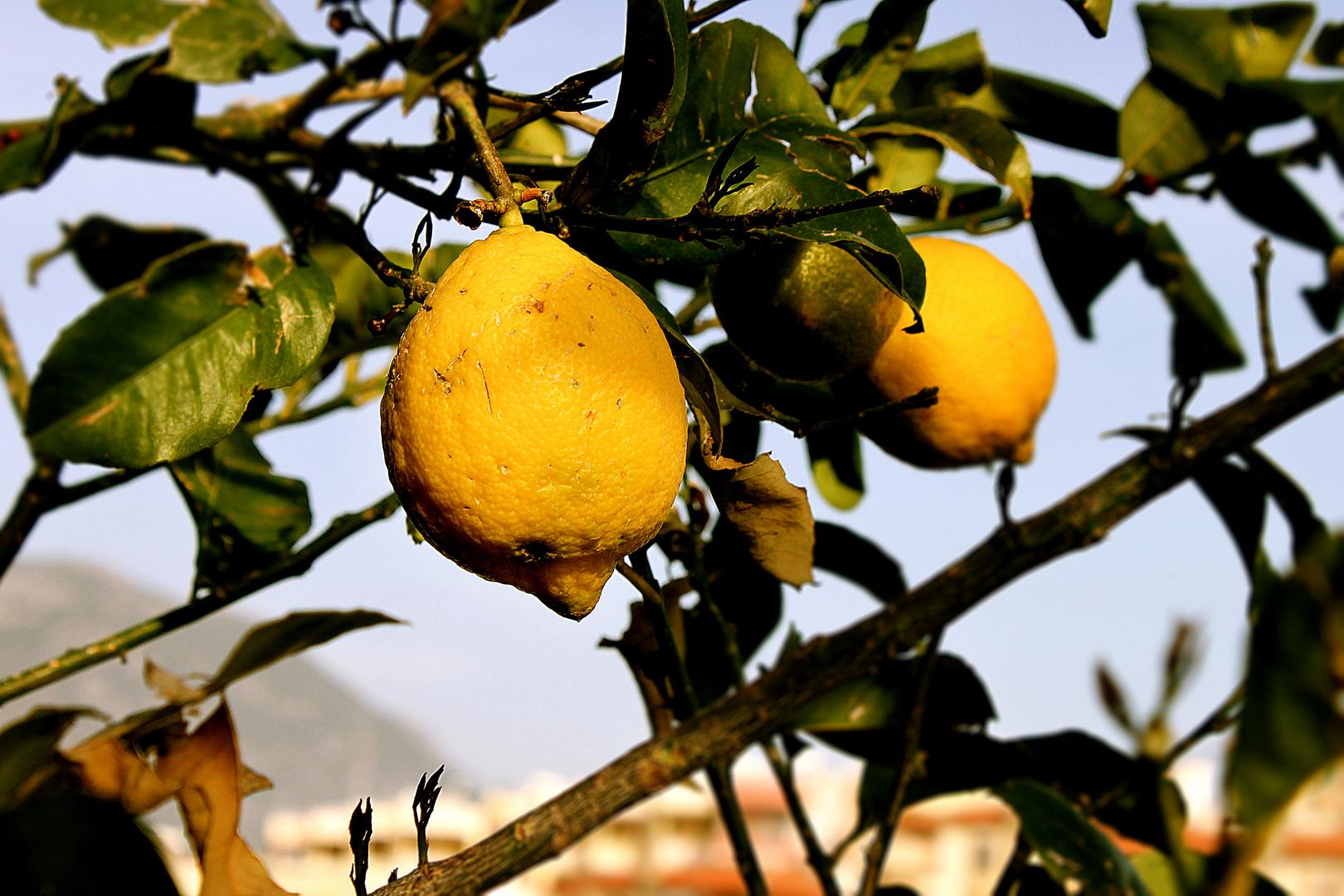 Vacation Lemon
