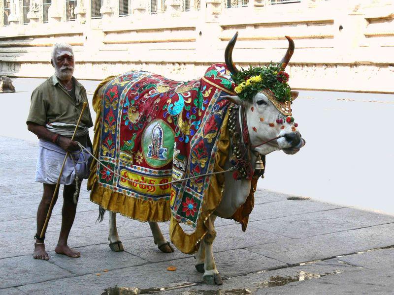 Vache sacrée ... / Holy cow ...
