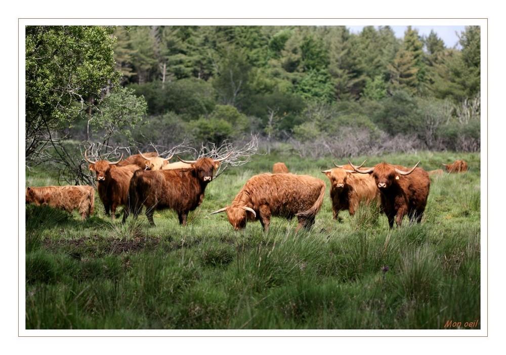 """Vaches écossaises """"Highland Cattle"""""""