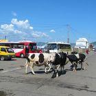 Vaches en ville