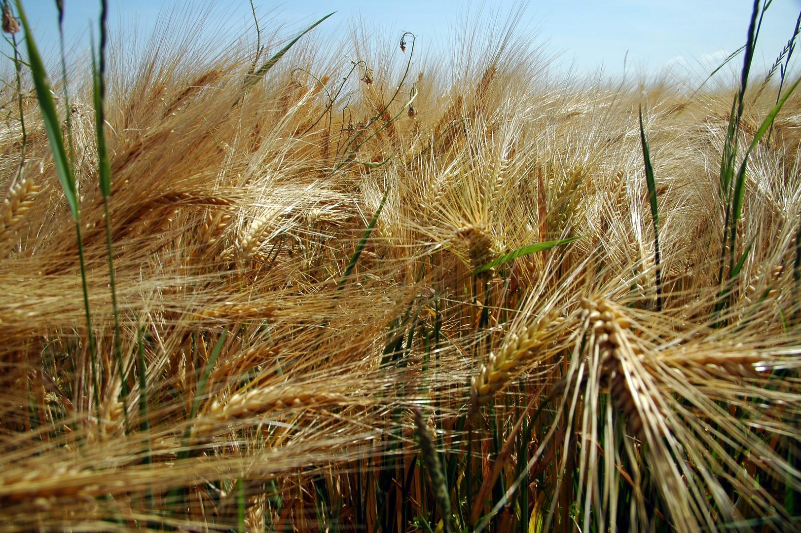 Vague de blé