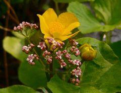Valeriana dioica & Caltha palustris