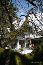 """Vancouver, Tistle down """"was für ein Baum"""""""