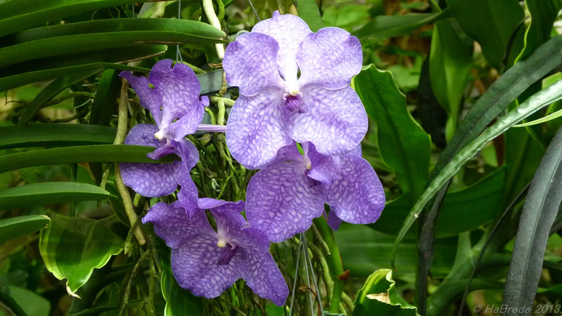 vanda orchidee foto bild natur blumen pflanzen bilder auf fotocommunity. Black Bedroom Furniture Sets. Home Design Ideas