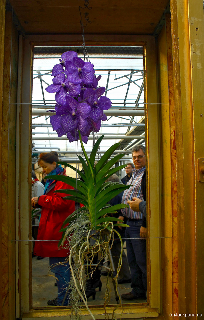 vanda orchidee foto bild pflanzen pilze flechten bl ten kleinpflanzen orchideen. Black Bedroom Furniture Sets. Home Design Ideas