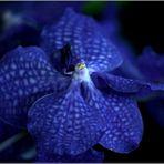 Vanda-Orchidee