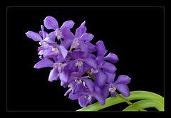 Vandahybride (Vascostylis Thai Sky 'Blue Ocean'?)....