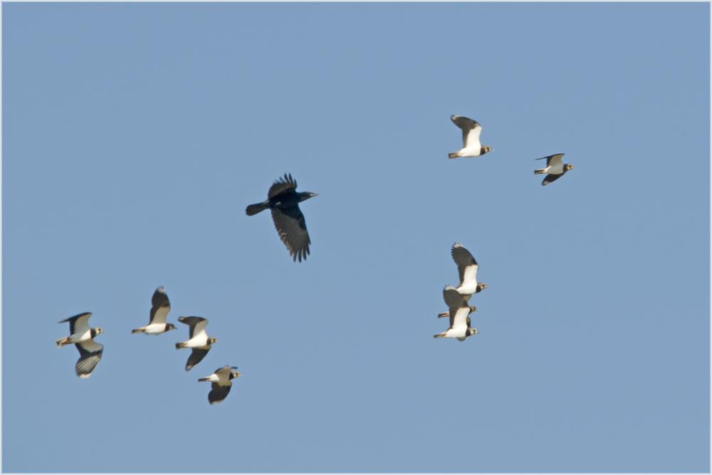 Vanneaux huppés chassés par un corbeau