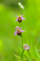 Variable Biene