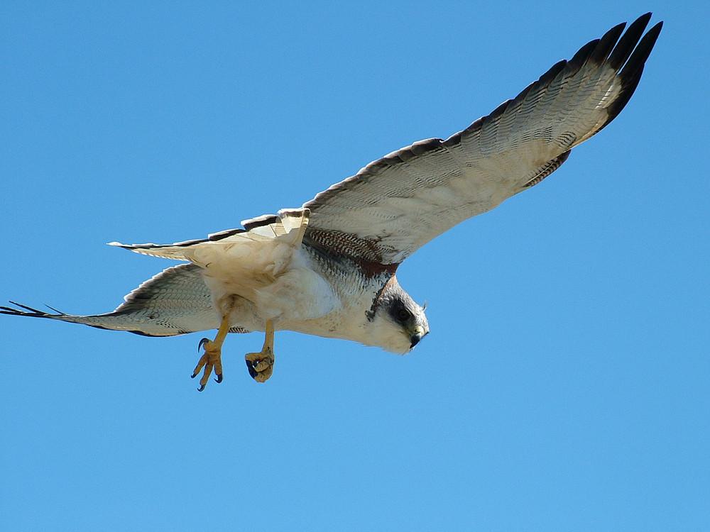 Variable Hawk.