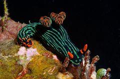 Variable Neonsternschnecke (Nembrotha kubaryana)