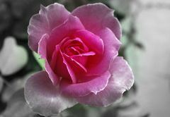 variation sur une rose