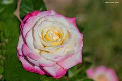 Variationenreiche Rose
