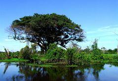 Vater der Bäume