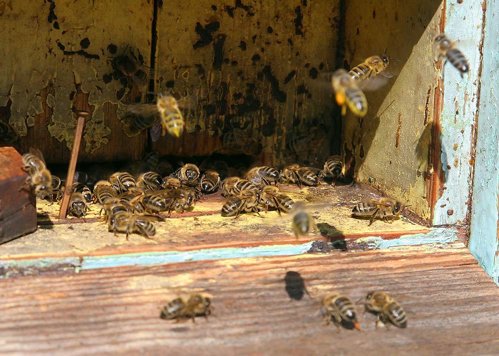 Vaters Bienen