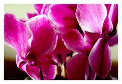 Veilchenrot oder doch violett?