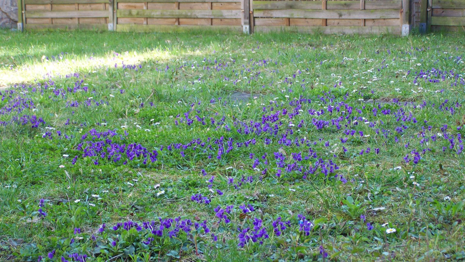 Veilchenwiese / les violettes