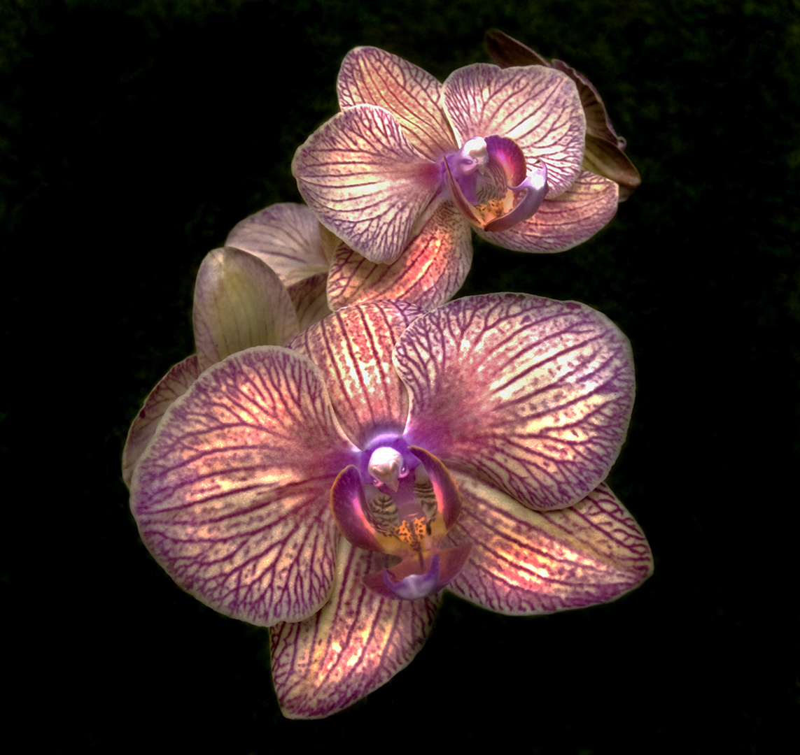 Veined Orchid 1