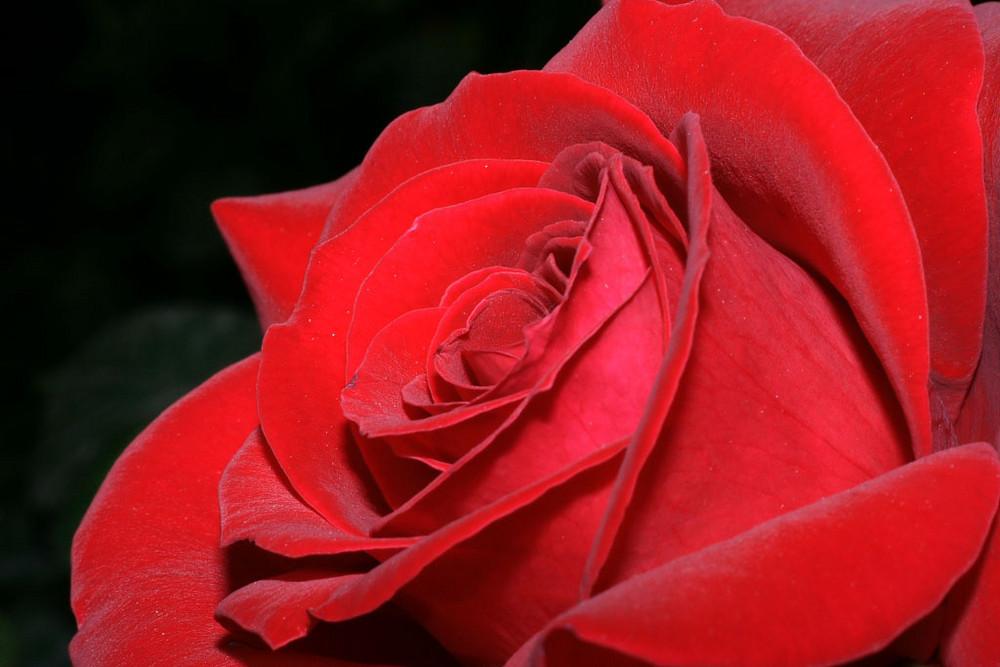 Vellutata rosa...