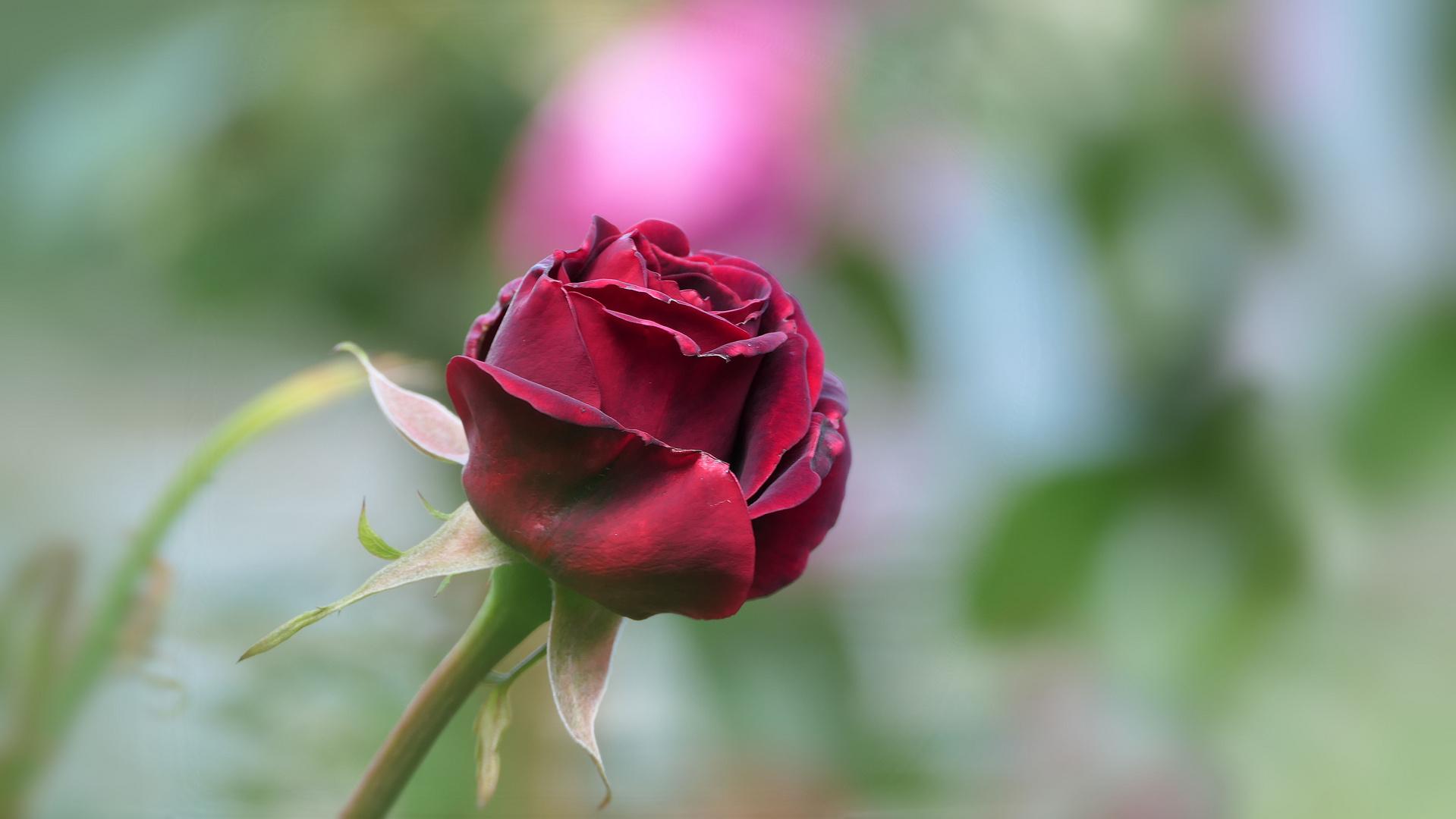 ... velvet rose