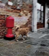 venedig hund