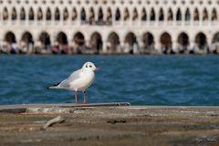 Venezianerin mit Flügeln