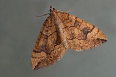 Veränderlicher Haarbüschelspanner (Eulithis populata) - La Cidarie du Peuplier.