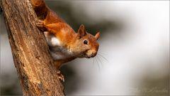 Verängstigtes Eichhörnchen.