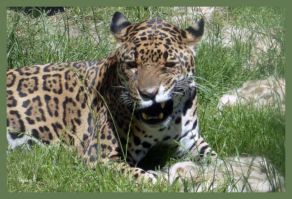 verärgerter  Jaguar