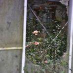 verblichene Rosen