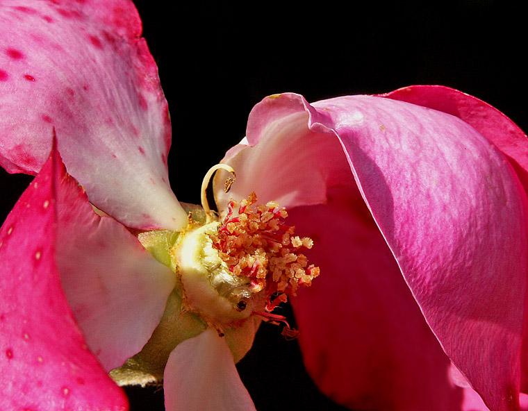 verblühende Rose