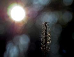 Verblüht, aber sonnendurchflutet! - Fané, mais embelli par les rayons de soleil!