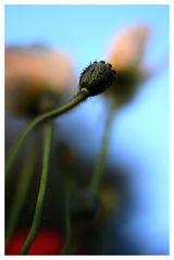 ... verblühte Blume...