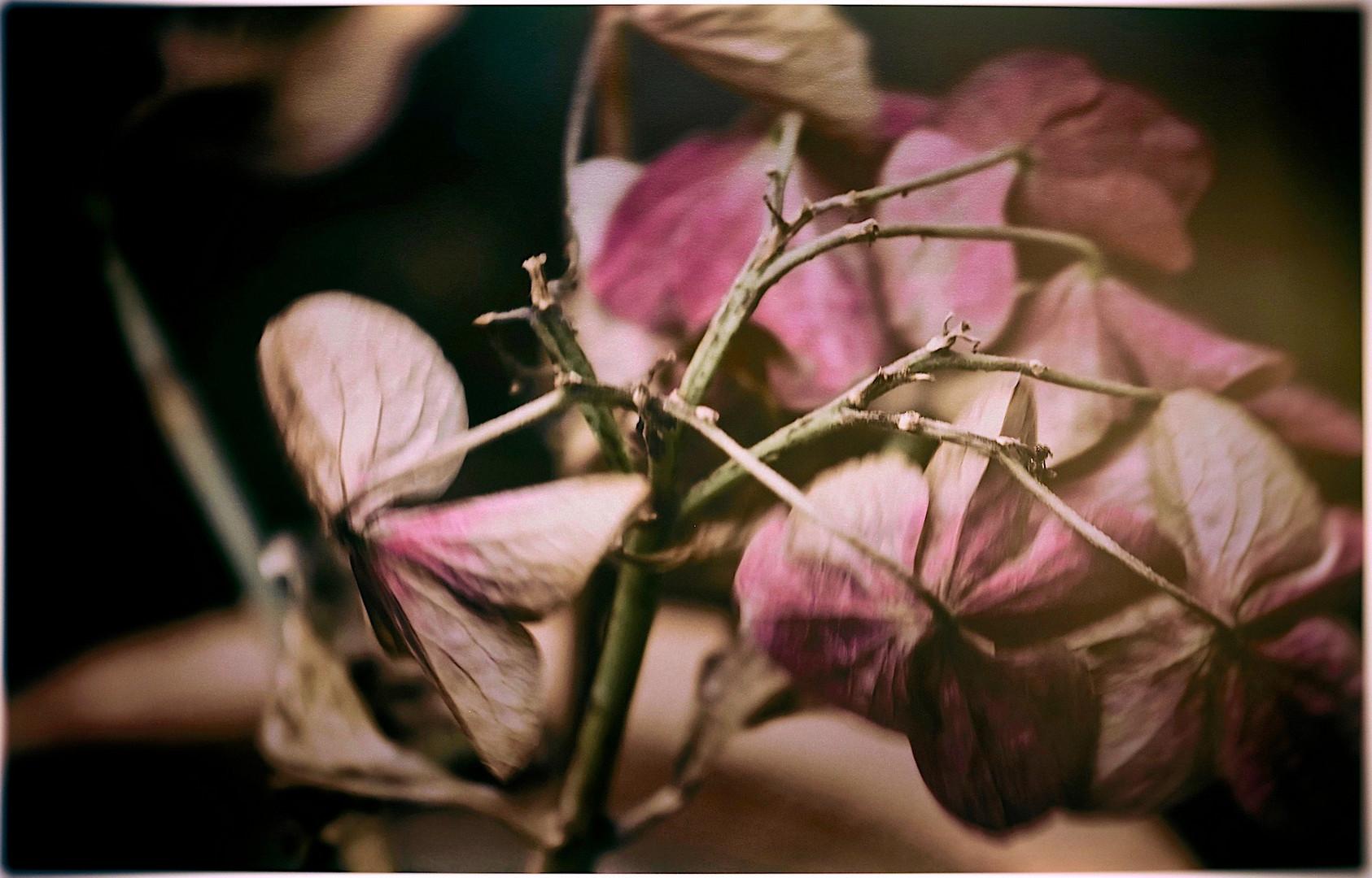 Verbluhte Hortensie Foto Bild Natur Makros Projekte Natur