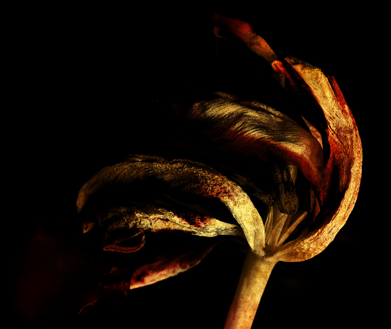 Verblühte Tulpe...