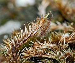 Verborgen im Moos! Seht ihr den Springschwanz (Entomobrya intermedia) ? *