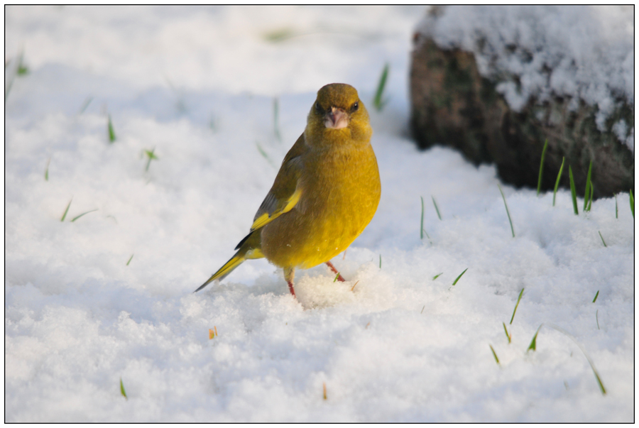 Verdier dans la neige