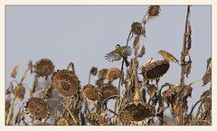 Verdorrte Sonnenblumen...
