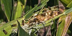 Verdorrter Maiskolben mit Wespen!