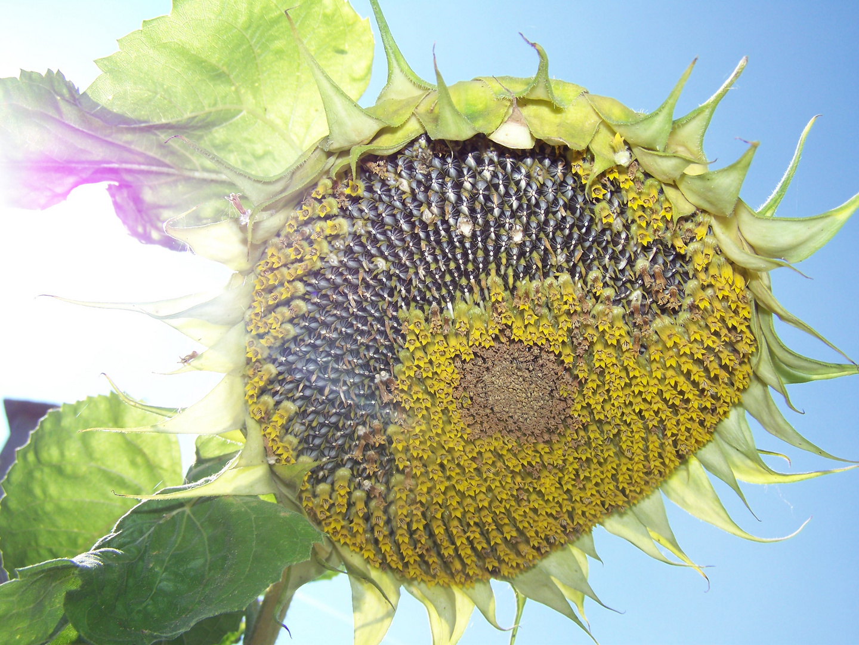 Verfall einer Sonnenblume